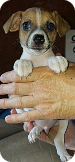 Chihuahua/Terrier (Unknown Type, Small) Mix Puppy for adoption in Hagerstown, Maryland - Jules