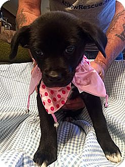 Labrador Retriever/Boxer Mix Puppy for adoption in ST LOUIS, Missouri - WRIGLEY
