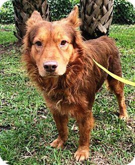 Australian Cattle Dog/Golden Retriever Mix Dog for adoption in Miami, Florida - S/C Benji