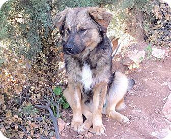Collie/Labrador Retriever Mix Puppy for adoption in Toronto, Ontario - Brownie