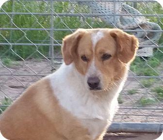 Australian Cattle Dog/Beagle Mix Dog for adoption in Greeley, Colorado - Kenai