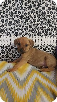 Labrador Retriever/German Shepherd Dog Mix Puppy for adoption in Forest Hill, Maryland - Mike
