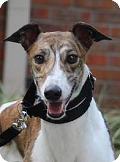 Greyhound Mix Dog for adoption in Nashville, Tennessee - Seven