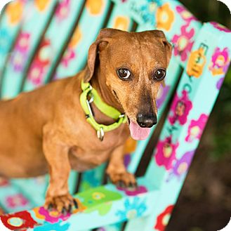 Dachshund Mix Dog for adoption in Houston, Texas - Tippy