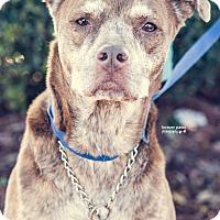 Adopt A Pet :: Brandy Rose - Gainesville, FL