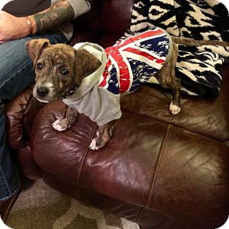 Pit Bull Terrier/Chihuahua Mix Puppy for adoption in Broken Arrow, Oklahoma - Mike