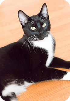 Domestic Shorthair Cat for adoption in Chicago, Illinois - Jesse