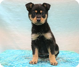 German Shepherd Dog/Labrador Retriever Mix Puppy for adoption in Hagerstown, Maryland - Cage
