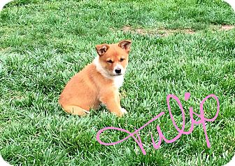 Australian Cattle Dog/Collie Mix Puppy for adoption in Concord, California - Tulip