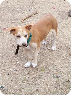 Welsh Corgi Mix Dog for adoption in Pipe Creed, Texas - Pablo