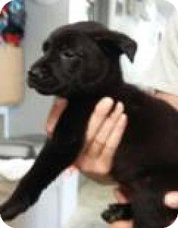 Labrador Retriever Mix Puppy for adoption in Paducah, Kentucky - Bonny