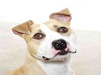 Pit Bull Terrier Mix Dog for adoption in Alameda, California - JUPITER