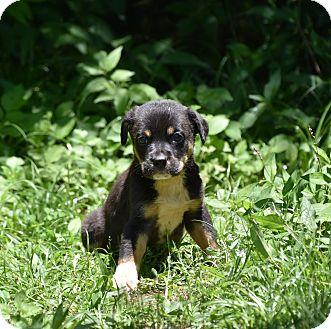 German Shepherd Dog Mix Puppy for adoption in Groton, Massachusetts - GREER