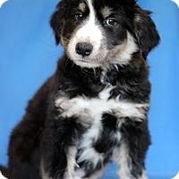 Adopt A Pet :: Black - Waldorf, MD