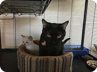 Domestic Shorthair Cat for adoption in Ontario, California - Salem