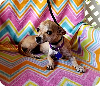 Chihuahua/Terrier (Unknown Type, Small) Mix Dog for adoption in Hamilton, Ontario - Nena