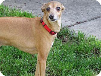 Italian Greyhound Dog for adoption in Westbury, New York - Enzo Ferrari