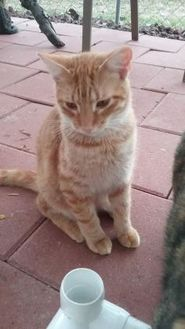Domestic Shorthair/Domestic Shorthair Mix Cat for adoption in Floresville, Texas - Sammy