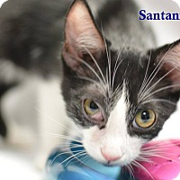 Adopt A Pet :: Santanna - Miami Shores, FL