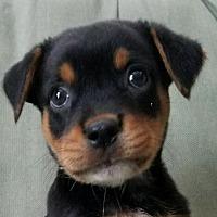 Adopt A Pet :: Nitro - oakland park, FL