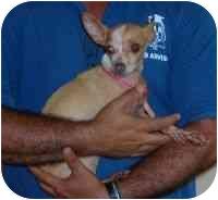 Chihuahua Dog for adoption in Boca Raton, Florida - Canela