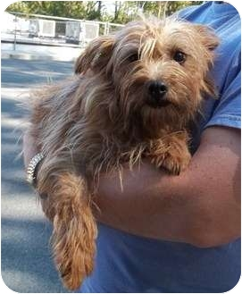 Norwich Terrier/Norfolk Terrier Mix Dog for adoption in Oak Ridge, New Jersey - Quill