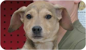 Hound (Unknown Type)/Setter (Unknown Type) Mix Puppy for adoption in Livonia, Michigan - Maggie - Adoption Pending
