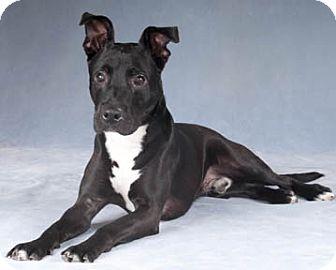 Labrador Retriever/Pit Bull Terrier Mix Dog for adoption in Chicago, Illinois - Thunder