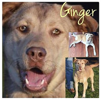 German Shepherd Dog/Husky Mix Dog for adoption in Garden City, Michigan - Ginger