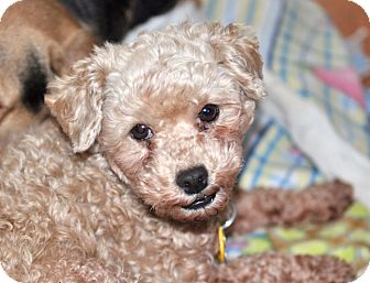 Poodle (Miniature) Dog for adoption in Howell, Michigan - Mario