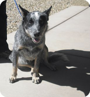 Australian Cattle Dog Mix Dog for adoption in Wickenburg, Arizona - Bucky