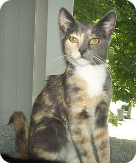 Domestic Shorthair Kitten for adoption in St. Louis, Missouri - Roxy