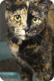 Domestic Shorthair Cat for adoption in Muskegon, Michigan - sierra