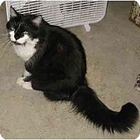 Adopt A Pet :: Chester DeClawed - Cincinnati, OH