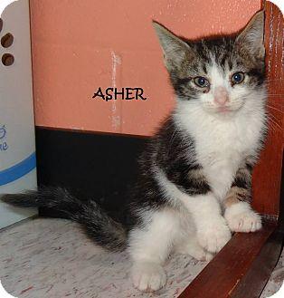 Domestic Mediumhair Kitten for adoption in Lapeer, Michigan - ASHER-CUTE BOY!