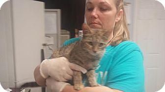 Domestic Shorthair Cat for adoption in Darlington, South Carolina - Goldie