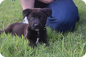 Labrador Retriever/Sheltie, Shetland Sheepdog Mix Puppy for adoption in CHICAGO, Illinois - EMMY