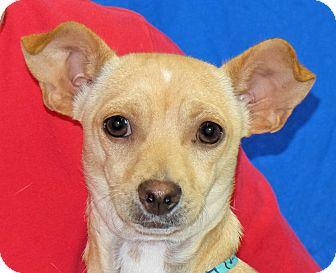 Chihuahua Mix Dog for adoption in Spokane, Washington - Corky