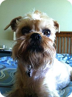Brussels Griffon Dog for adoption in Seymour, Missouri - NUBS - ADOPTION PENDING