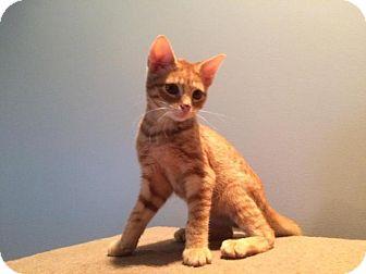 Bengal Kitten for adoption in Medford, New Jersey - Pumpkin