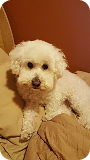 Bichon Frise/Poodle (Miniature) Mix Dog for adoption in Algonquin, Illinois - Luna