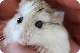 Hamster for adoption in Warren, Michigan - Dwarf Hamster
