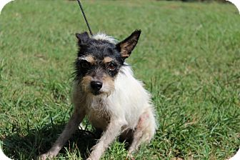 Terrier (Unknown Type, Small) Mix Dog for adoption in Conway, Arkansas - Yazzie
