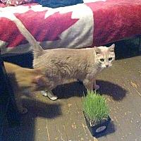 Adopt A Pet :: Harper - Mississauga, Ontario, ON