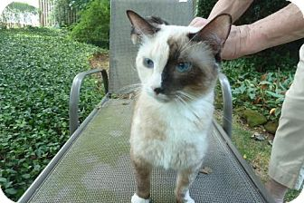 Siamese Cat for adoption in New Monmouth, New Jersey - Kai