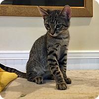 Adopt A Pet :: Spencer - Prescott, AZ