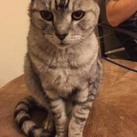 Adopt A Pet :: HEDWIG (FIV+) - Mesa, AZ