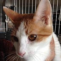 Adopt A Pet :: Marmalade - Alamogordo, NM