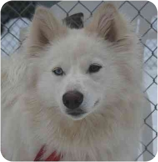 American Eskimo Dog/Spitz (Unknown Type, Medium) Mix Dog for adoption in Berea, Ohio - Aspen
