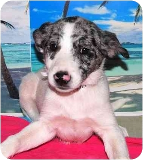 Australian Cattle Dog/Australian Cattle Dog Mix Puppy for adoption in Broomfield, Colorado - Violet